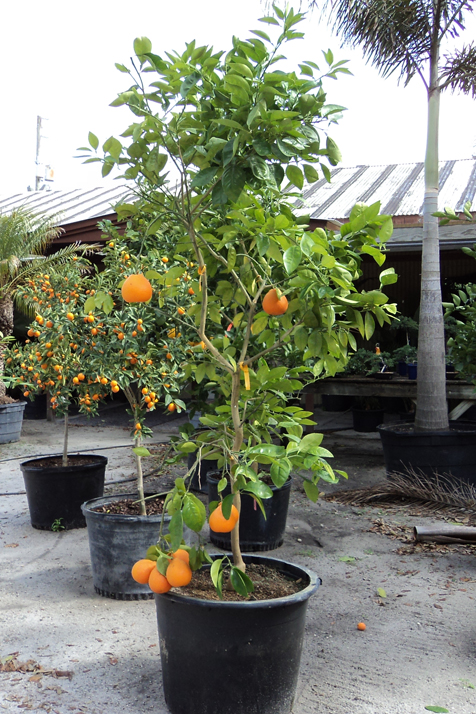 Citrus Trees Group