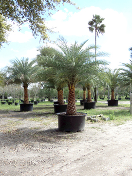 Sylvester Palms Patch